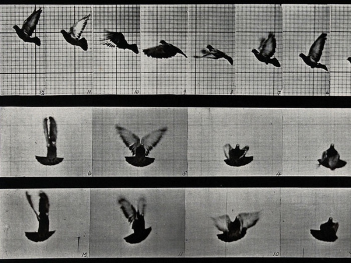 Edward Muybridge | volo di un uccello