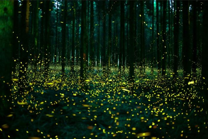 fireflies | Japan