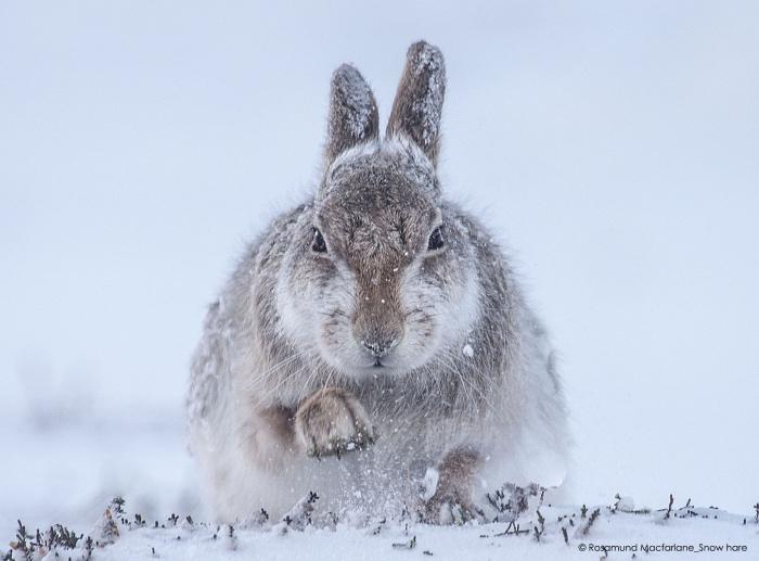 Rosamund Macfarlane | snow hare